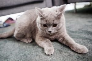 cat stains on carpet and upholstery