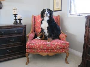Bernese Mountain Dog Sitting On Chair